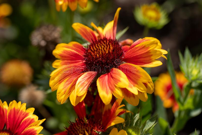 Portrait of yellow-orange gaillardia blanket flowers in the summer garden. Photography of lively nature stock image