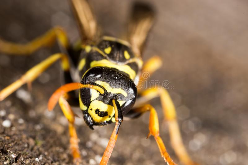 Portrait of a yellow wasp in nature royalty free stock photo