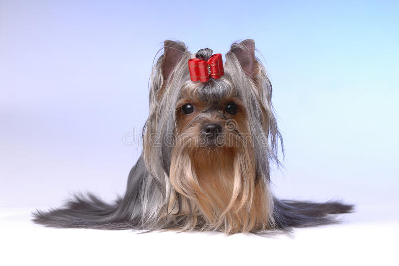 Download Portrait Of Yorkshire Terrier Stock Image - Image: 10775797