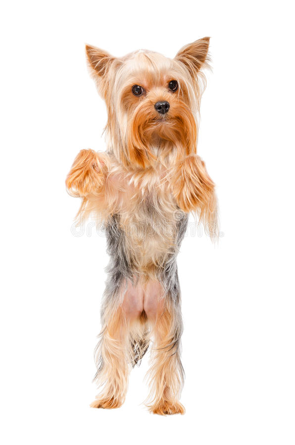 Portrait of Yorkshire terrier standing on his hind legs. Isolated on a white background stock photography