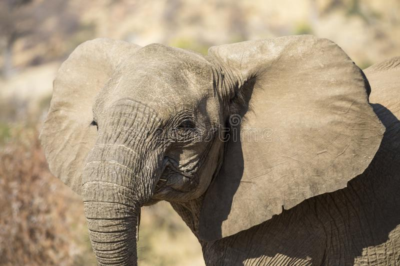 Portrait of young African elephant royalty free stock image