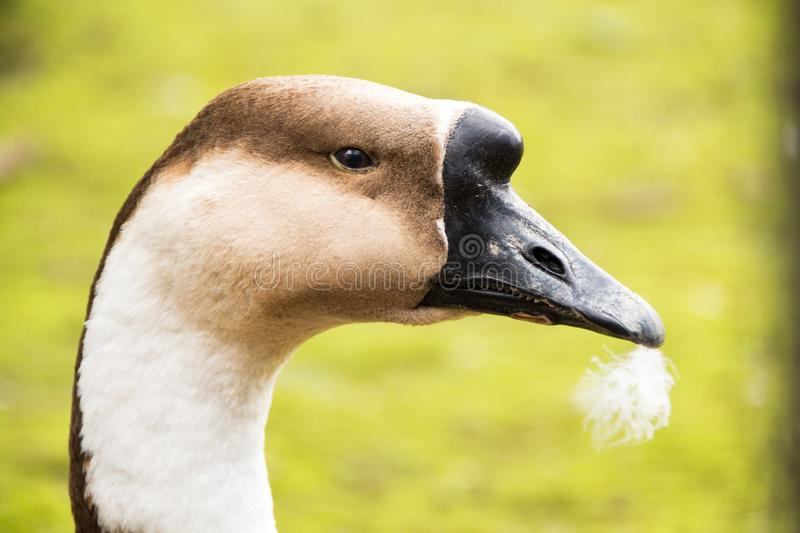 Portrait of an young African goose with a feather in his mouth. On a bright green background. Angry goose close-up. Portrait of an young African goose with a stock photography