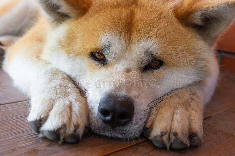 Portrait of young Akita inu dog lying lonely on a tiled floor. Closeup portrait of young Akita inu dog lying lonely on a tiled floor royalty free stock photo