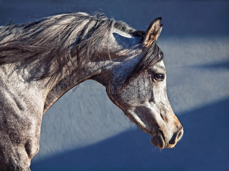 Portrait of young arabian filly in movement. Outdoor royalty free stock photos