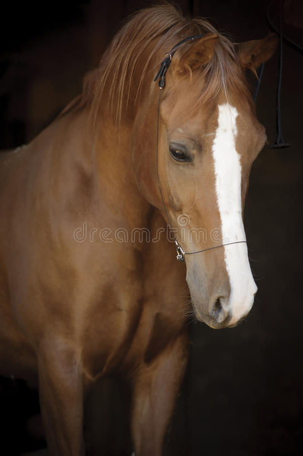 Portrait of young arabian horse at black background stock photos