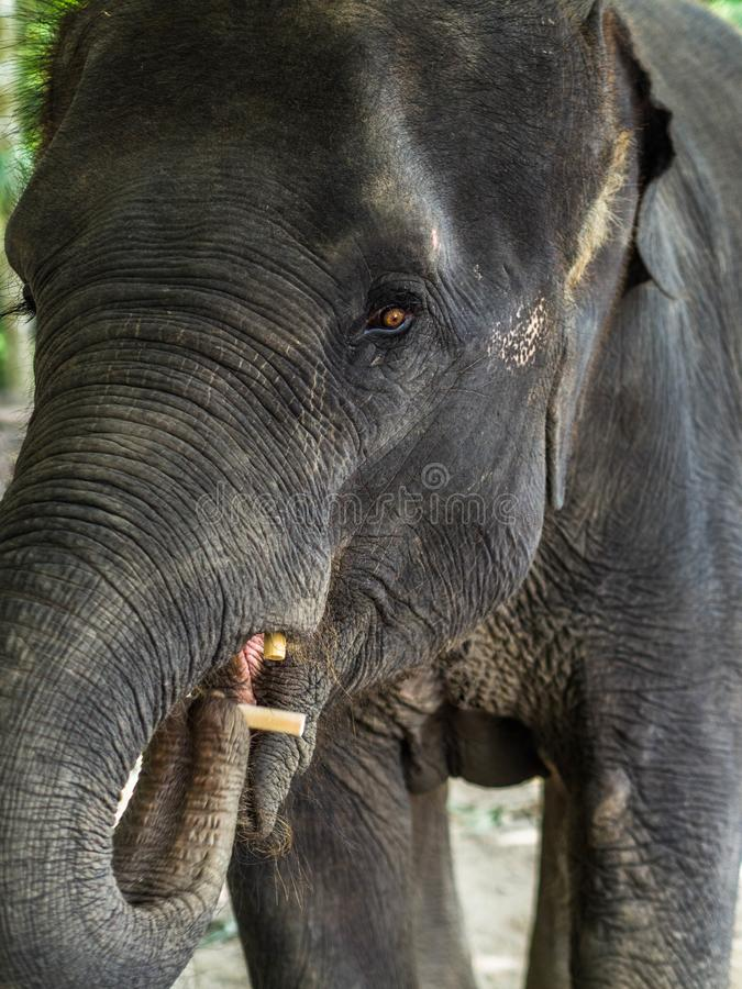 Portrait of a young asian elephant puts food by the trunk in his mouth royalty free stock photography