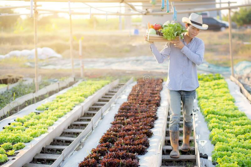 Portrait young asian man walking harvest and picking up fresh organic vegetable garden in basket in the hydroponic farm royalty free stock photography