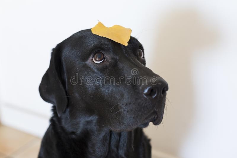 Portrait of a young beautiful black labrador with a yellow leave standing on his head. white background. Autumn concept stock image