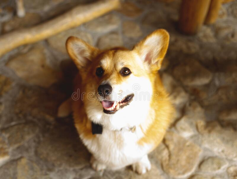 Portrait of a young beautiful royal corgi.  royalty free stock photography