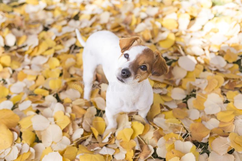 Portrait of a young beautiful small white and brown dog sitting on yellow leaves background. Park, outdoors stock photography