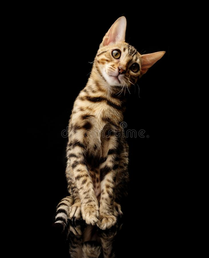 Portrait of young bengal purebred cat on black background. royalty free stock image