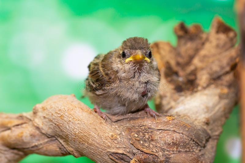 Portrait of a young bird Passer domesticus on a branch, front view,. Blurred green background royalty free stock photo