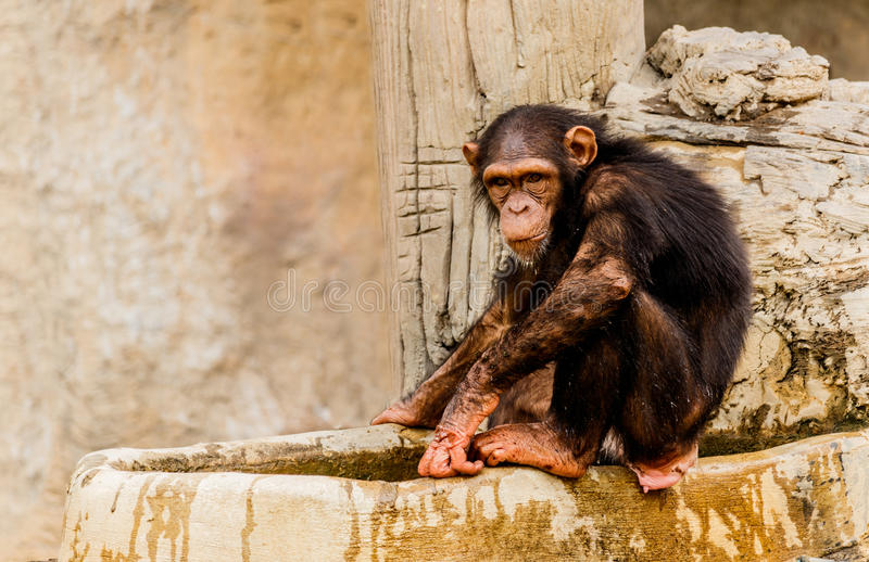 The portrait of young black chimpanzee. The portrait of young black chimpanzee stock images
