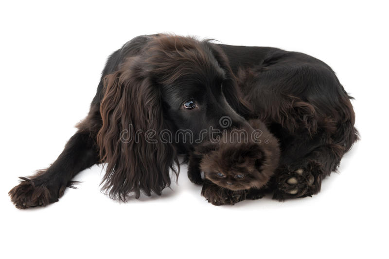 Portrait of young black cocker spaniel dog and a puppy persian cat stock photo