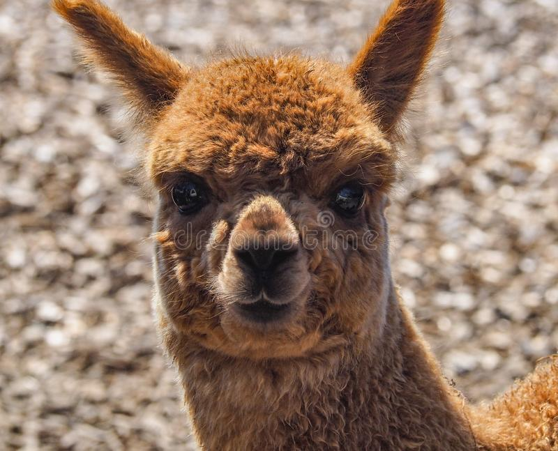 Portrait of a young brown alpaca. With fluffy fur and big ears stock photography