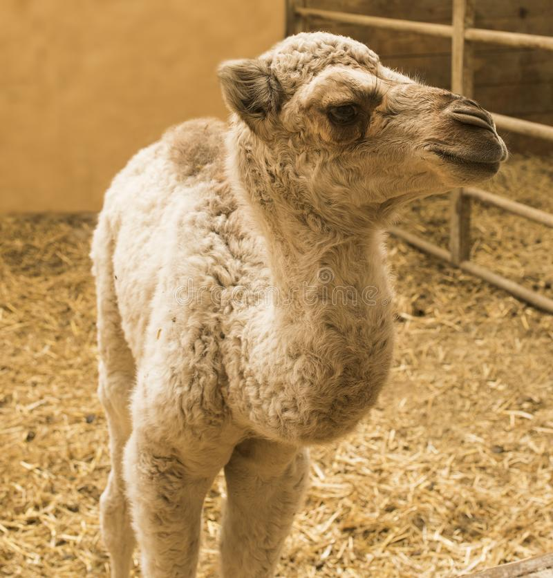 Giraffe Giraffa. Portrait of young camel in the stable Camelidae royalty free stock images