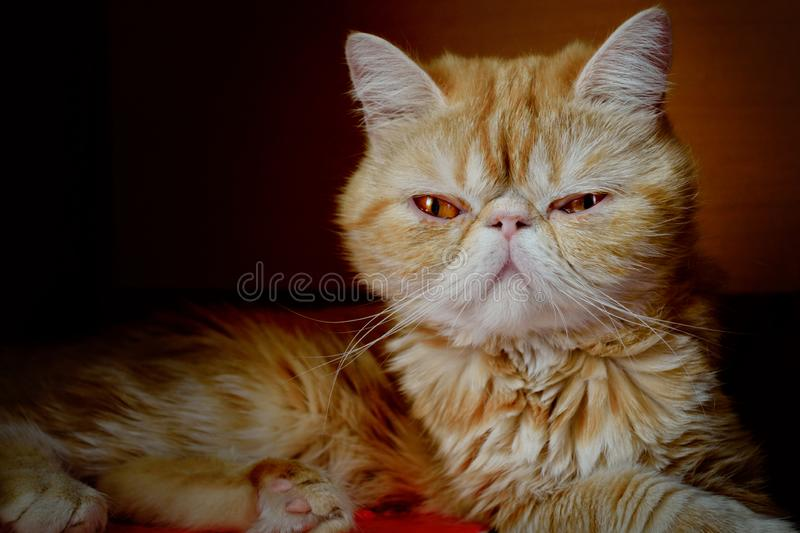 Portrait of a young cat of exotic breed against a dark background indoors. Indoors. An animal color - red with white burn marks. Horizontal format. Color royalty free stock photo