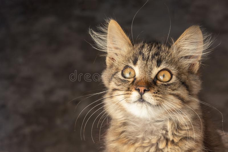 Portrait of a young cat with long fur of brown and gray on a dark blurry background. Emotion of surprise and irritation. copy. Portrait of a young cat with long royalty free stock photos