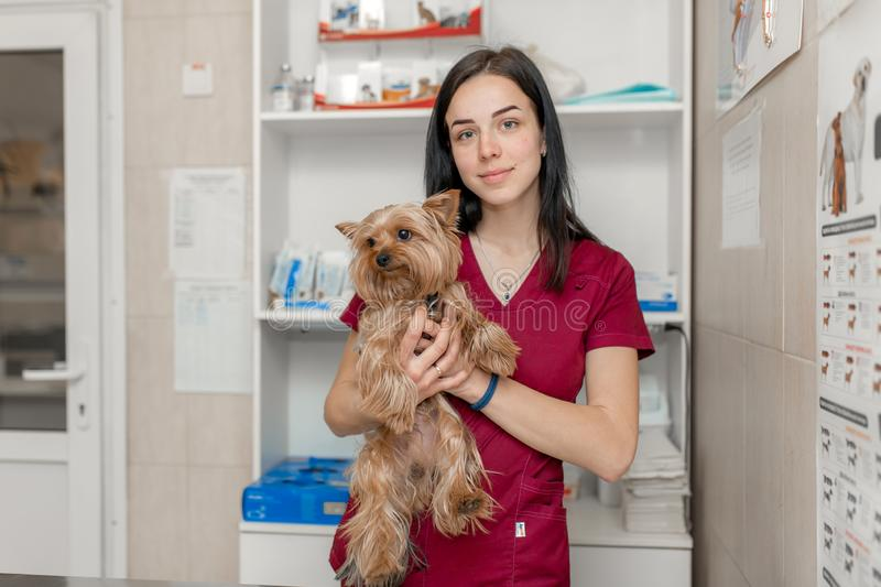 Portrait of young caucasian woman veterinary doctor hold yorkshire terrier stock images