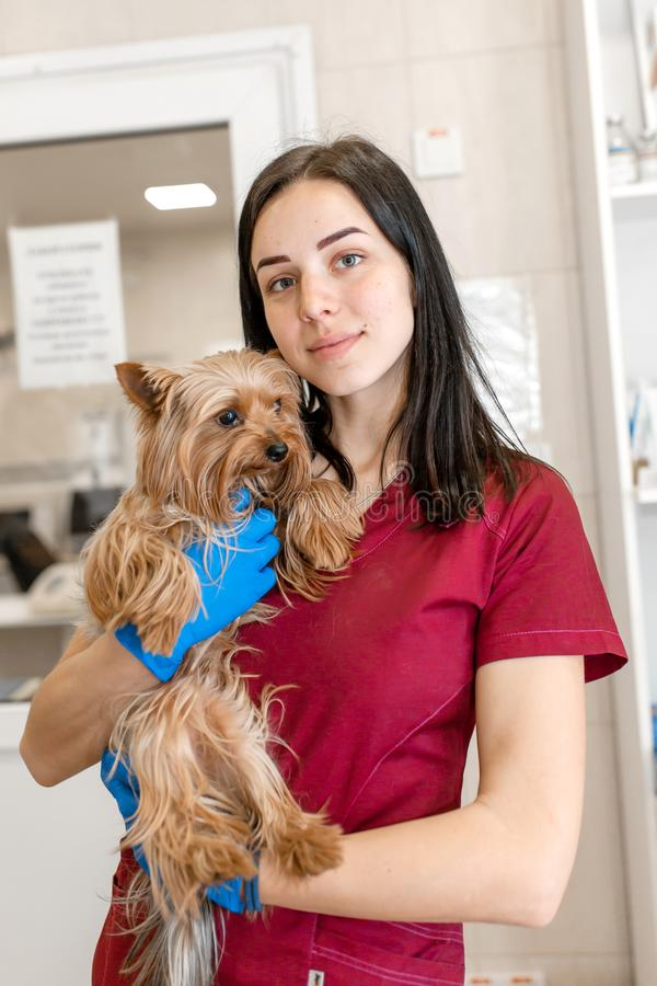Portrait of young caucasian woman veterinary doctor hold yorkshire terrier royalty free stock image