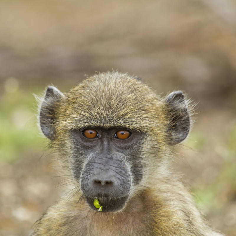 Portrait of a young chacma baboon playing in its habitat in Kruger national park royalty free stock photo