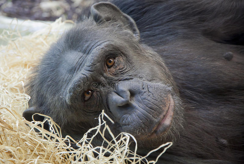 Portrait of a young Chimpanzee. Close-up portrait of a young Chimpanzee royalty free stock photos