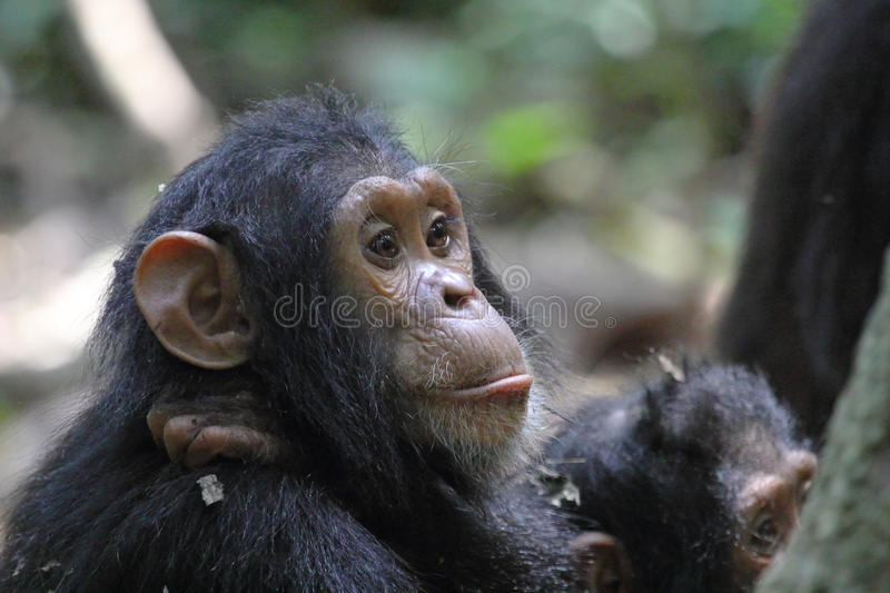 Portrait of young chimpanzee. Portrait of a young chimpanzee (Pan troglodytes royalty free stock image