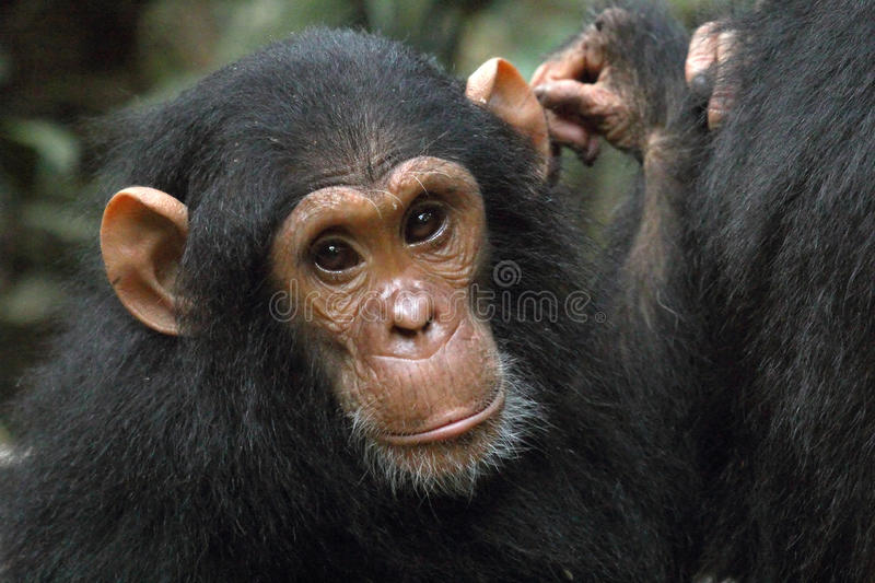 Portrait of a young chimpanzee. (Pan troglodytes royalty free stock photo