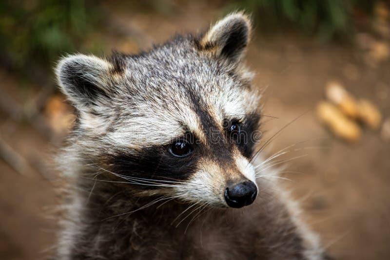 Portrait of young common raccoon stock photo