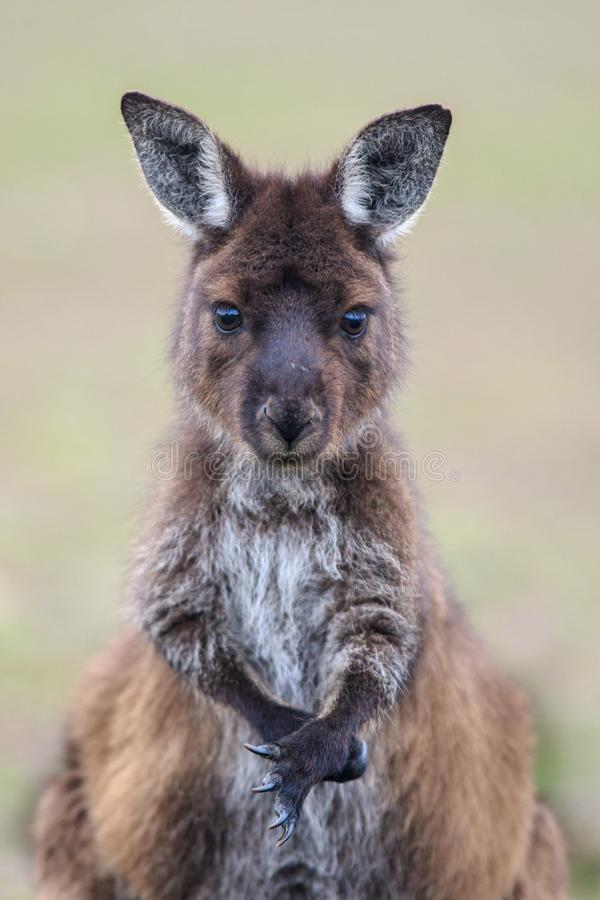 Portrait of young cute australian Kangaroo with big bright brown eyes looking close-up at camera. Joey royalty free stock photos