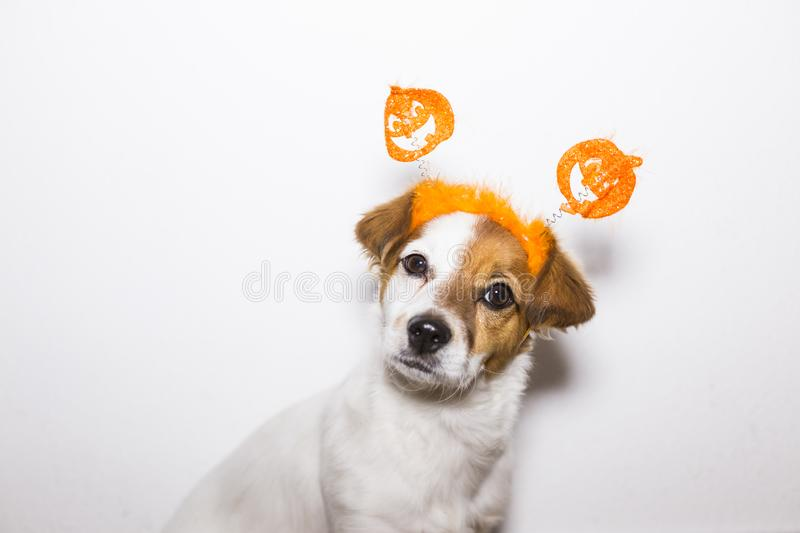 Portrait of a young cute dog wearing a funny halloween diadem. White background. Indoors. Haunt, humor, joke, animal, monster, costume, pet, terror, autumn royalty free stock photos