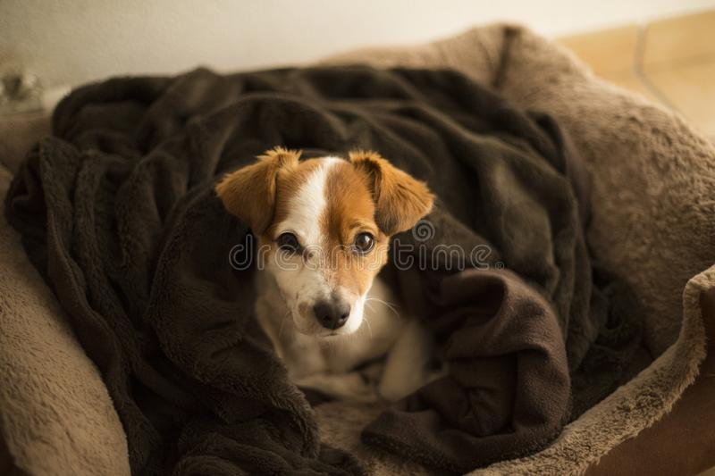 Portrait of young cute small dog sitting on his brown bed and looking at the camera. Indoors, daytime royalty free stock image