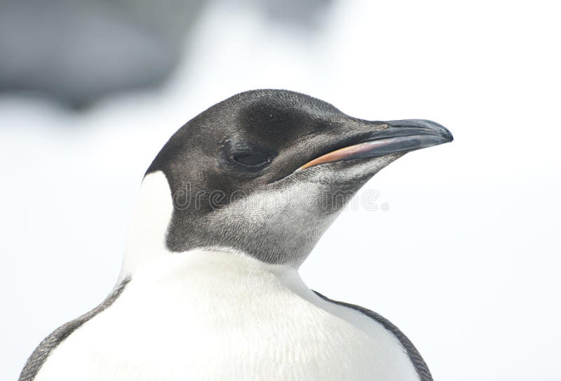 Portrait Of A Young Emperor Penguin On A Bright Day. Royalty Free Stock Photography