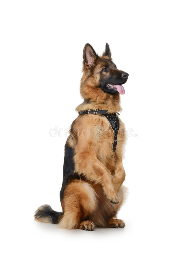 Portrait of a Young German Shepherd Dog Standing on its hind legs against white background. Two Years Old Pet. Portrait of a Young Fluffy German Shepherd Dog royalty free stock photos