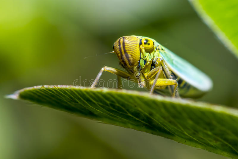 Portrait of a young grasshopper. The grasshopper is an insect of the suborder Caelifera in the order Orthoptera. To distinguish it from bush crickets or katydids stock photography