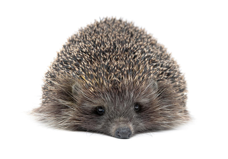 Portrait of a young hedgehog on white background. Horizontal photo stock images