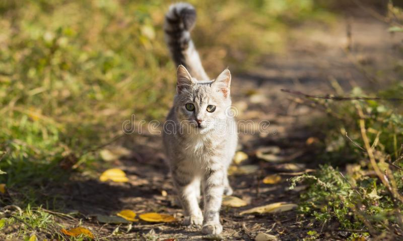 Portrait of a young homeless kitten walking in nature, fluffy pets royalty free stock images