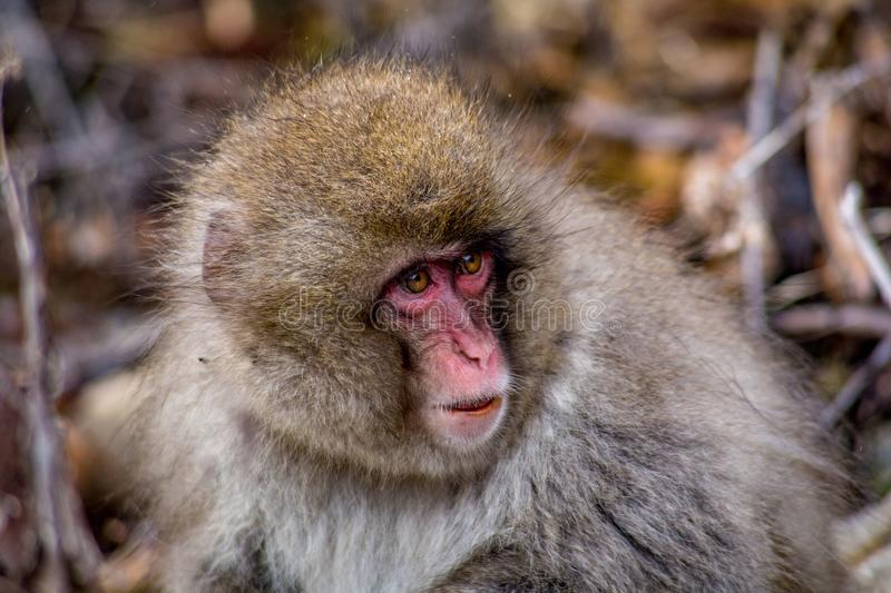 Portrait of a young snow monkey. A portrait of a young Japanese Macaque, or snow monkey. These monkeys are the northern most non-human primates in the world stock image