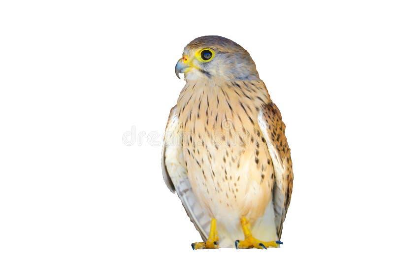 Portrait of a young Kestrel Falcon Falco tinnunculus closeup.  royalty free stock image