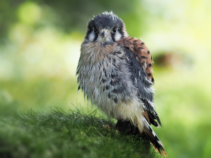portrait of a young kestrel, looking royalty free stock images