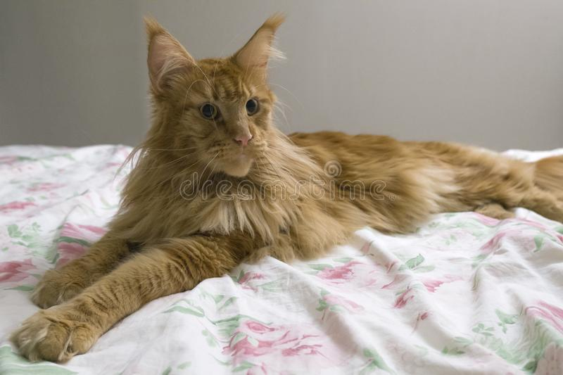 Portrait of young large red marble Maine coon cat lies on a white blanket with flowers. Red fluffy cat. Portrait of a young large red marble Maine coon cat lies royalty free stock photos