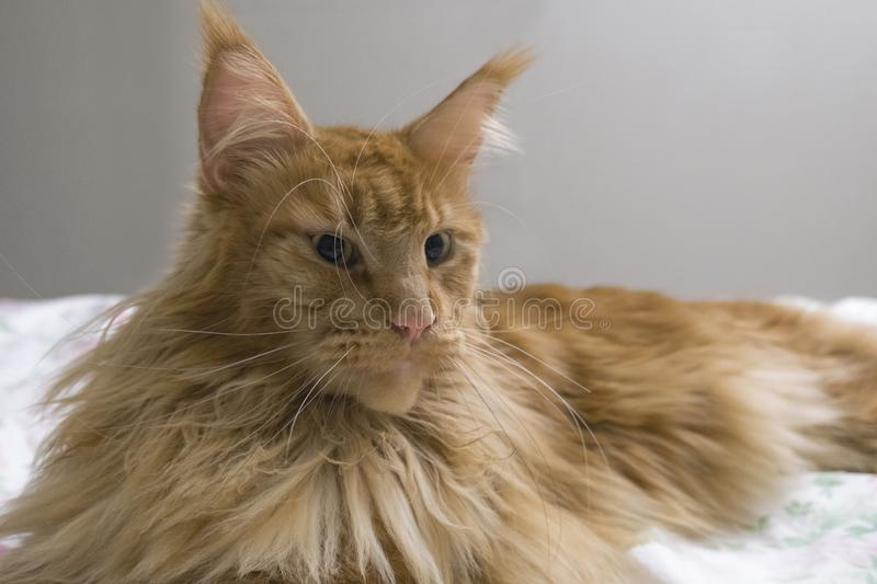 Portrait of young large red marble Maine coon cat lies on a white blanket with flowers. Red fluffy cat. Portrait of a young large red marble Maine coon cat lies stock photos