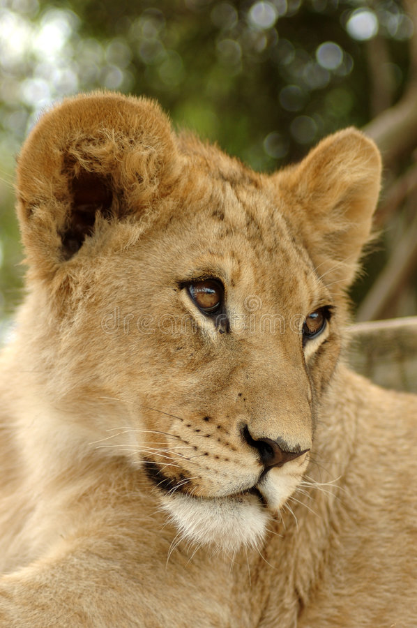 Portrait of young lion stock photo
