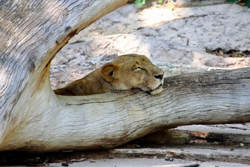 Portrait of a young lioness sleeping over a fallen tree stock photo