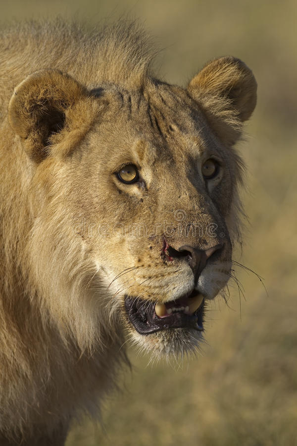 Download Portrait Of Young Male Lion Stock Photo - Image: 18899368