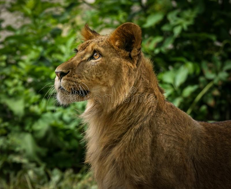 Young male lion portrait royalty free stock photos