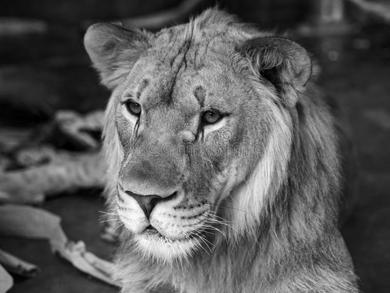 Portrait of a Juvenile Male Lion stock photography