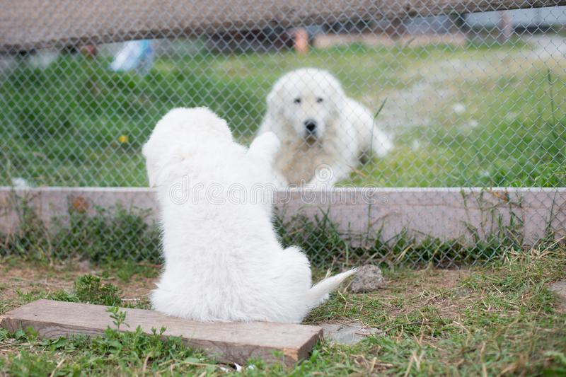 Portrait of a young maremma sheepdog puppy is saying hello by its paw to daddy through the fence in summer. Lovely white maremmano abruzzese puppy and big stock images