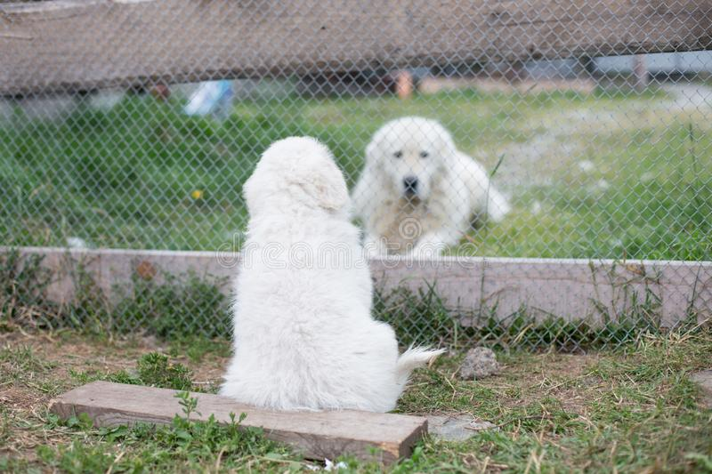 Portrait of a young maremma sheepdog puppy is waving by its paw to daddy through the fence in summer. stock photos