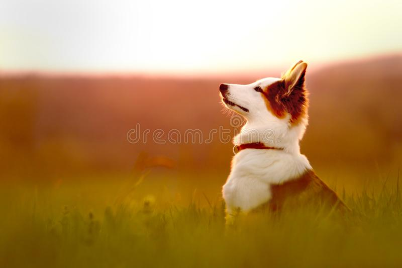 Portrait of a young mixed breed dog, sitting on a meadow, sunrise or sunset. Background royalty free stock images